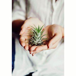 گیاه هوازی آیونانتا